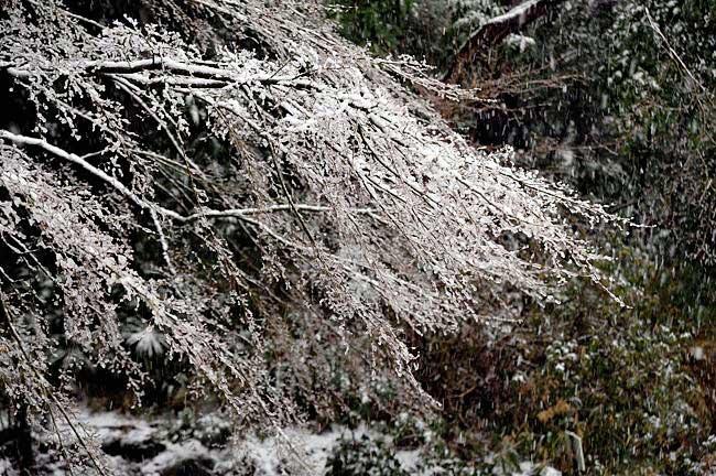 雪が枝に積もって枝垂れみたいになってます