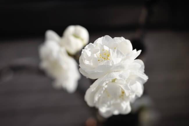 白い花が綺麗な梅