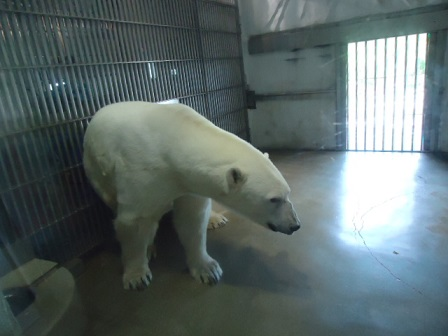 白熊かゆい