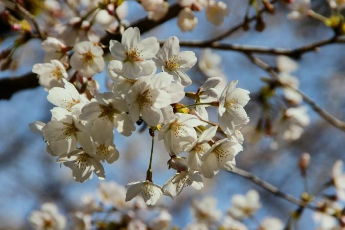 DSC09888桜