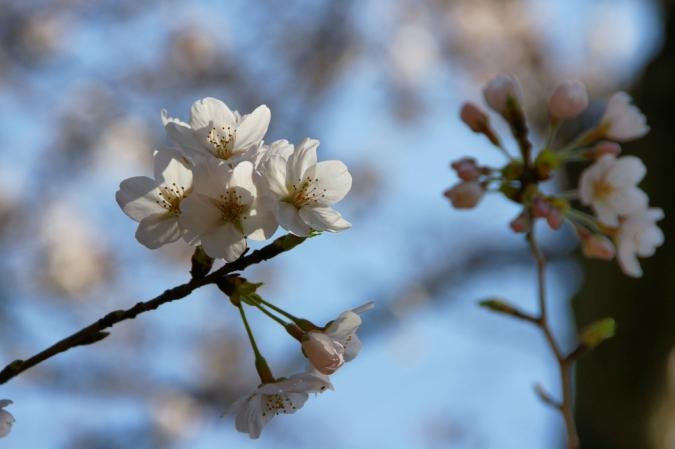 DSC09870桜
