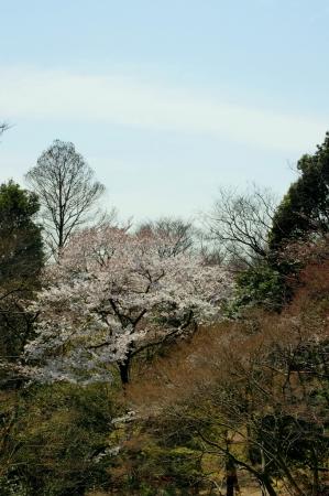 DSC09841桜