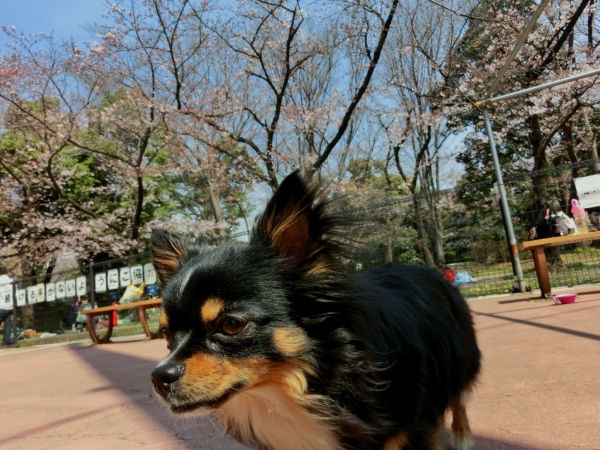 CIMG4464桜