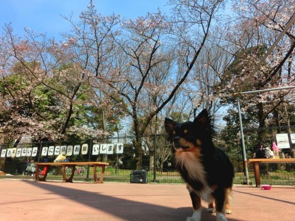 CIMG4462桜