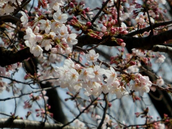 CIMG4456桜