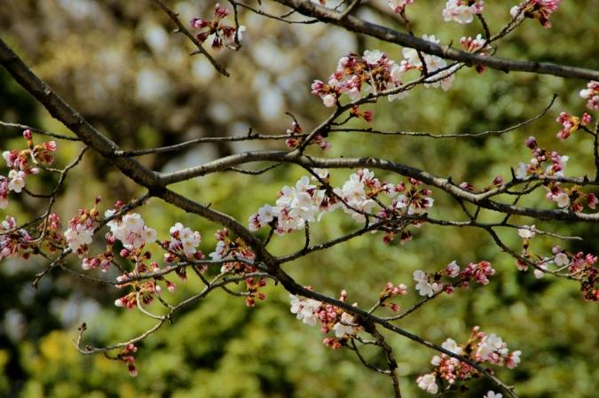 DSC09921桜