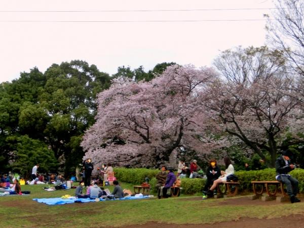 CIMG4541桜