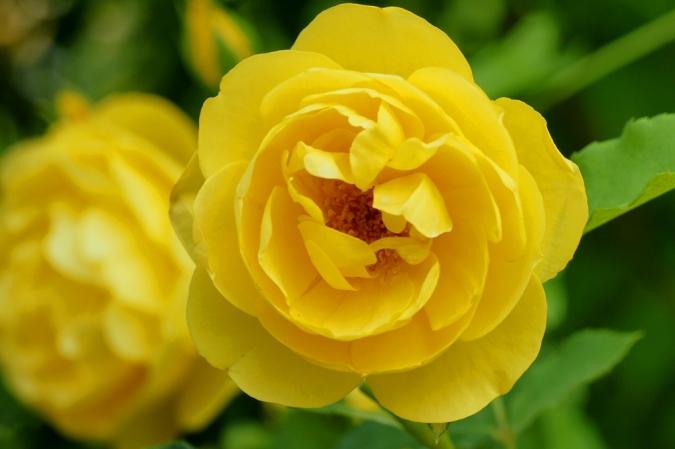 DSC03229薔薇