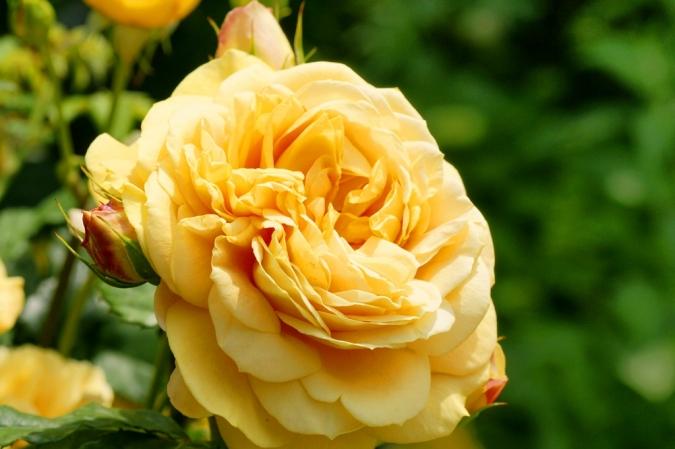 DSC03222薔薇