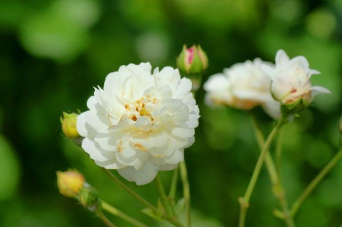 DSC03172薔薇