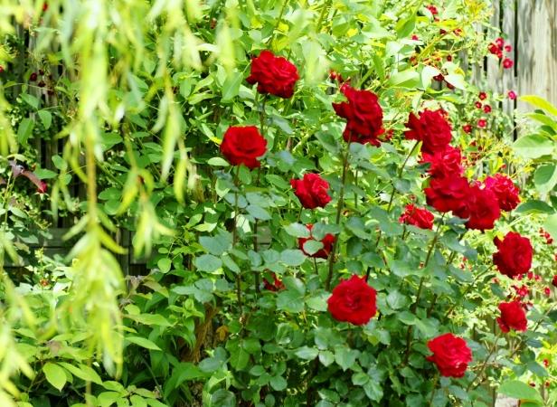 DSC03338薔薇