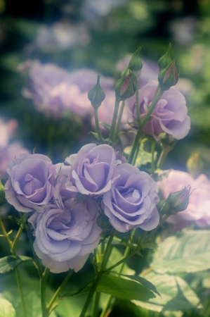 DSC03267薔薇