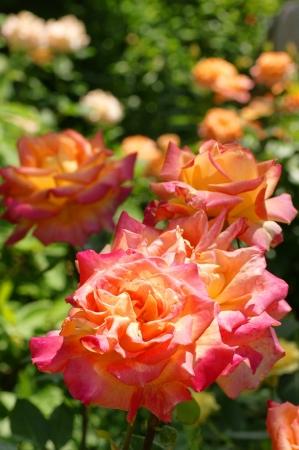DSC03235薔薇