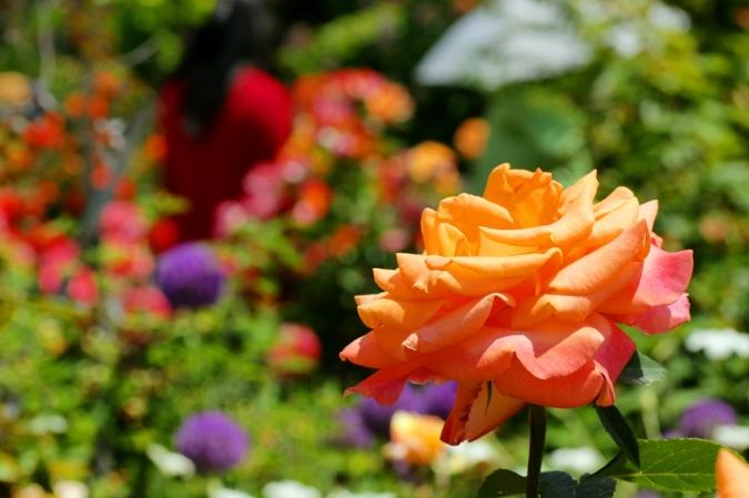 DSC033801薔薇