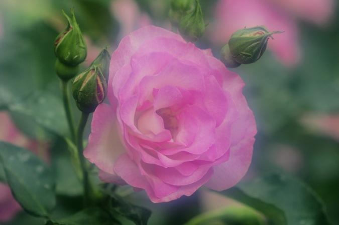 DSC033141薔薇