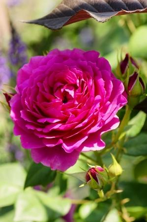 DSC03400薔薇