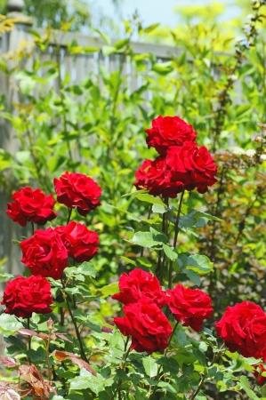 DSC03345薔薇