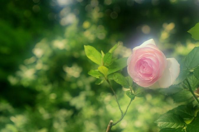 DSC03276薔薇