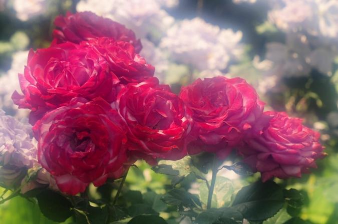 DSC03261薔薇