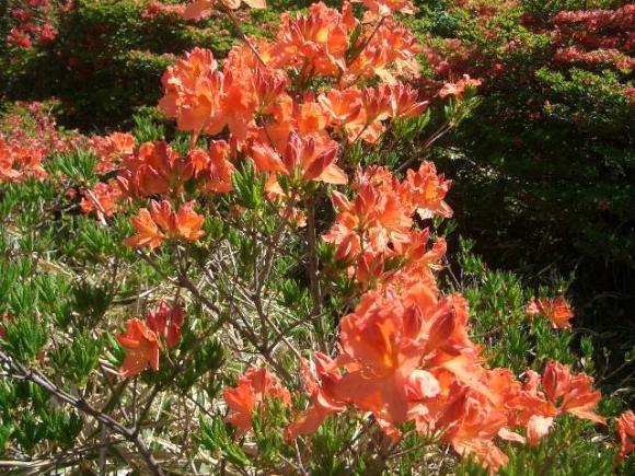 荒山高原に咲くレンゲツツジ