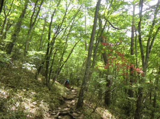 ヤマツツジ咲く新緑の登山道