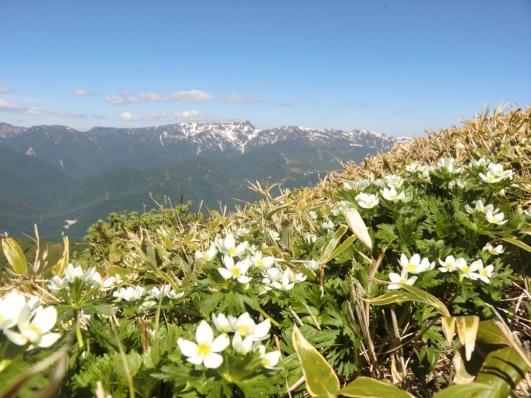 ハクサンイチゲのお花畑と苗場山