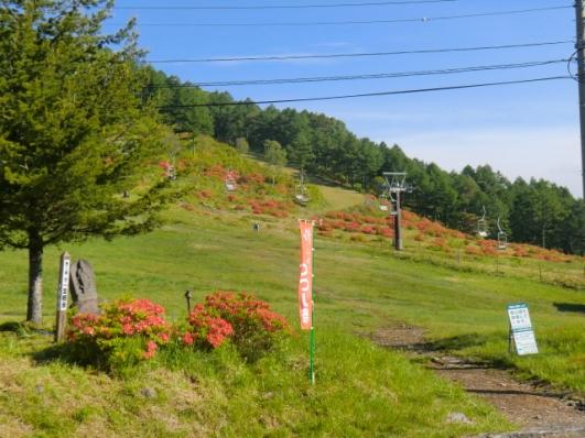 スキー場のレンゲツツジは満開