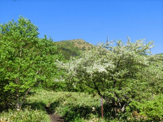 鞍部に咲くズミと烏帽子岳