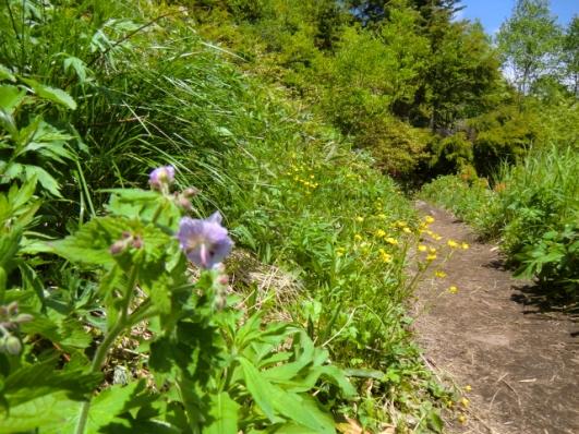 グンナイフウロとキンポウゲ咲く道