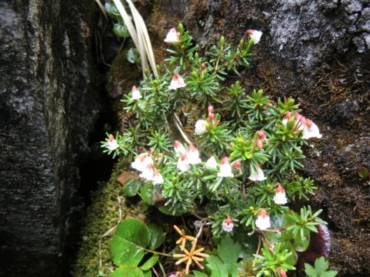 岩の隙間に咲くツガザクラ