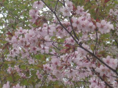 大通り横の桜