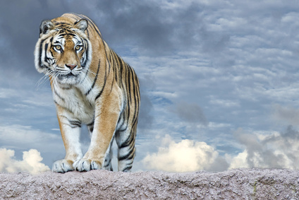 tiger_XS.jpg