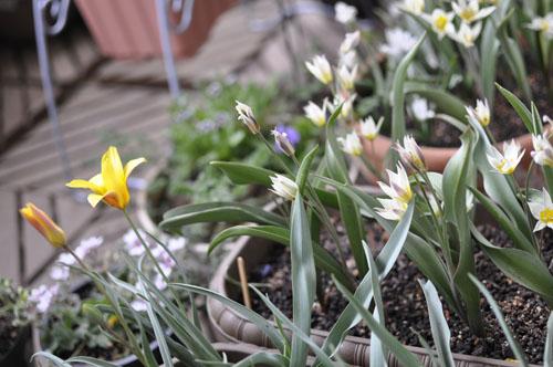 150330_tulip.jpg