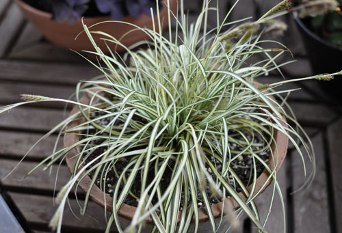 150421_Carex.jpg
