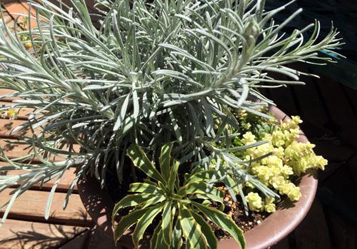 150421_helichrysum.jpg