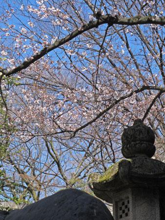 石切さん 桜1