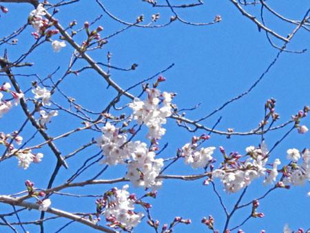 石切さん 桜2