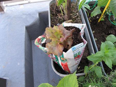 ベランダ菜園 2015の2