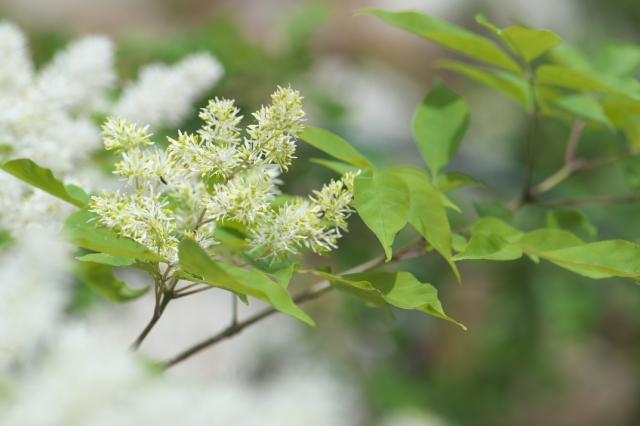 アオダモの花-3