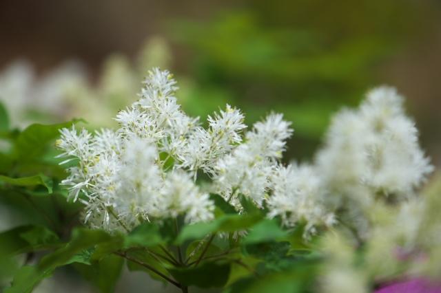 アオダモの花-1