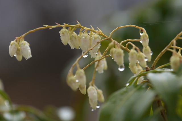 馬酔木の花に水滴-1