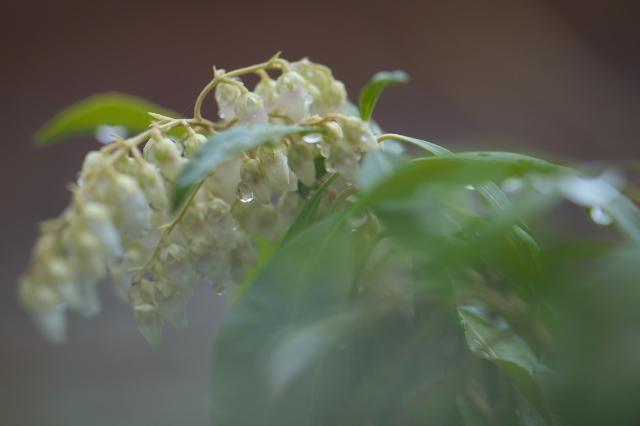 馬酔木の花に水滴-2