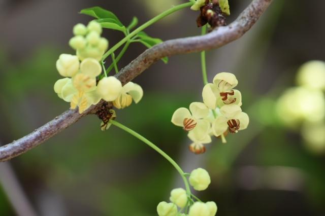 バナナアケビの花-4