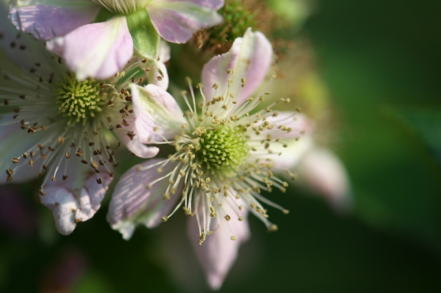 ブラックベリーの花-01