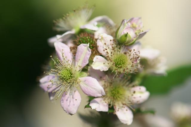 ブラックベリーの花-03