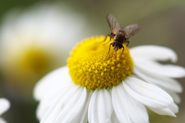 カモミールの花と蜂