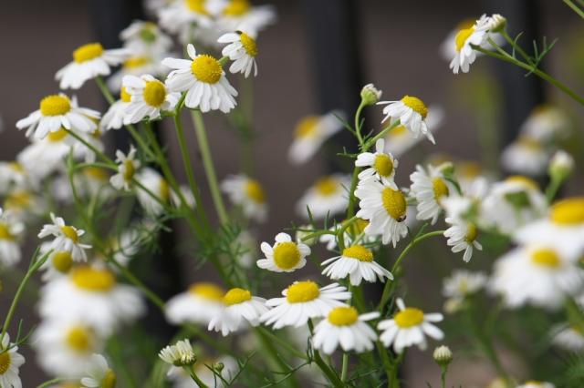 カモミールの花-02