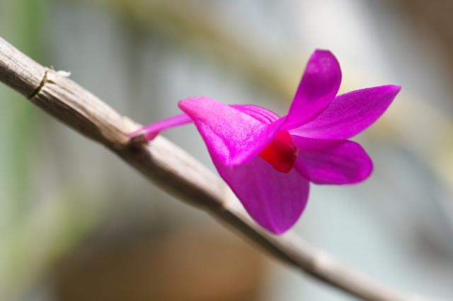 Dendrobium.crepidiferum-4