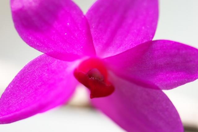 Dendrobium.crepidiferum-3