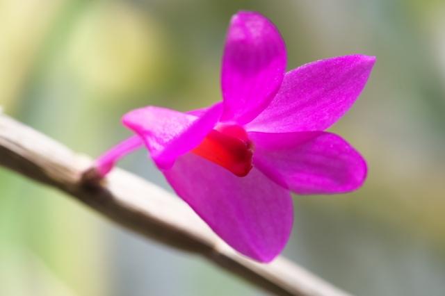 Dendrobium.crepidiferum-2